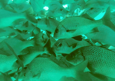 School of Fish Seen While Snorkeling in the Ambergris Caye Waters
